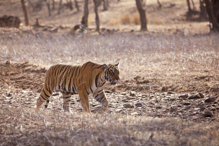 Tigre dans le parc national de Ranthambore