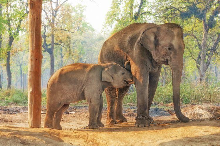 Centre d'élevage des éléphants à Chitwan